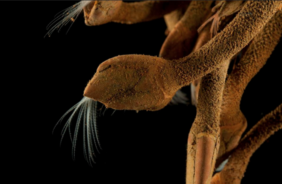 Este crustáceo fue localizado al sureste de Madagascar. (Foto: Infobae)