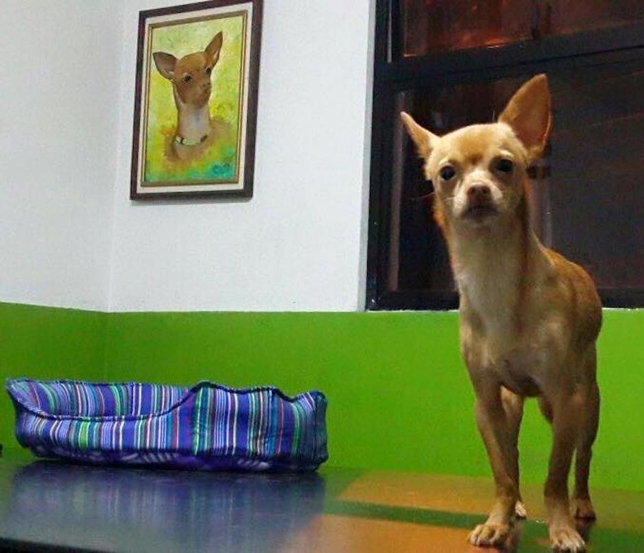 Taquito fue decomisado en las ventas ilegales de perros en las Charcas. (Foto: Albergue Municipal de Mascotas)