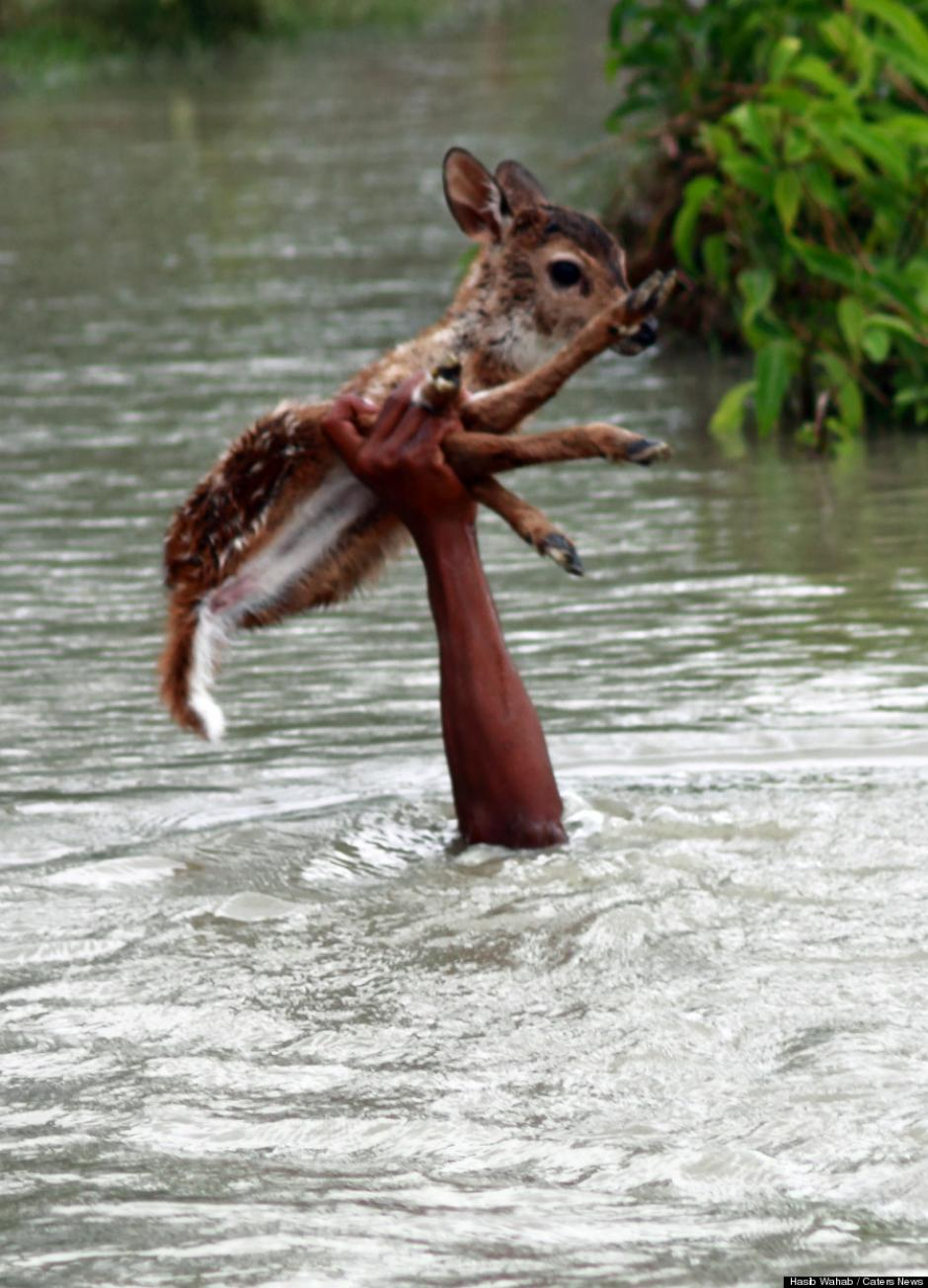 El muchacho, de unos 10 años, arriesgó su vida para salvar la vida de un venado en Bangladesh. (Foto: Huffington Post)