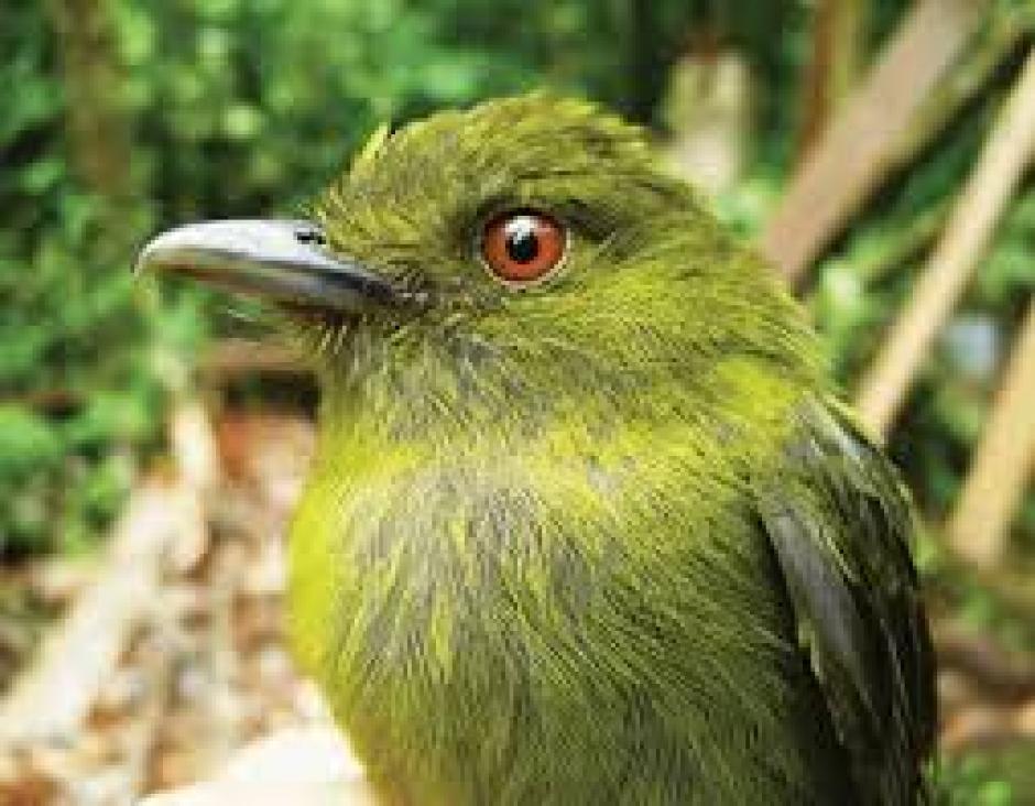 El nido donde viven los Sapayoas tiene forma de pera. (Foto: Quo)