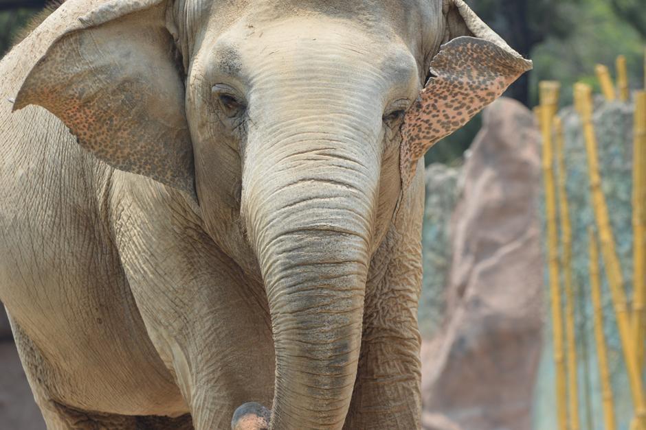 """""""Trompita"""" es el nombre artístico de la elefanta. (Foto: Camila Chicas /Soy502)"""