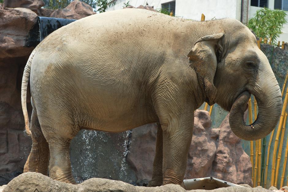 La elefanta lleva 8 años viviendo en el zoológico La Aurora. (Foto: Camila Chicas /Soy502)