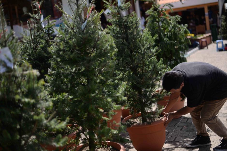Los pinabetes en maceta están revolucionando el mercado navideño. (Foto: Wilder López/Soy502)