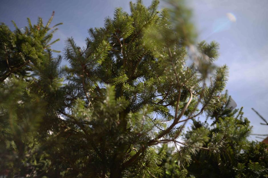 Los árboles son cultivamos en Quetzaltenango. (Foto: Wilder López/Soy502)