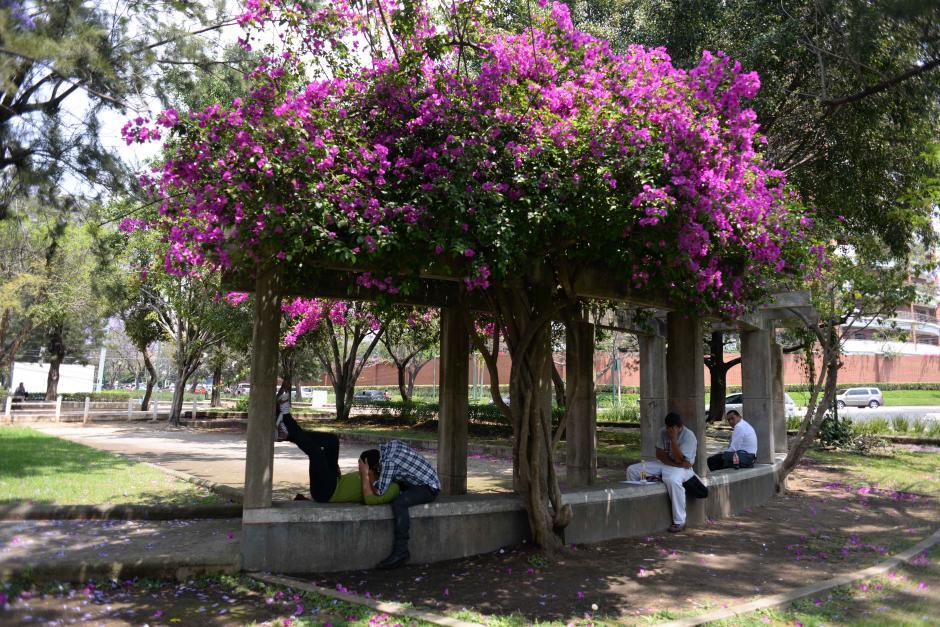 """Las """"bougainvellea"""" tambíen muestran su mejor momento en el verano y sirven como sombra para los enamorados. (Foto: Jesús Alfonso/Soy502)"""