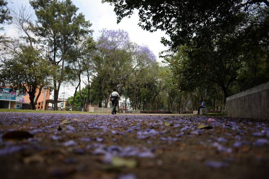 Las hojas de la Jacaranda suelen caer cuando llueve o existe viento leve. En la Avenida Las Américas hay muchos árboles de esta especie. (Foto: Jesús Alfonso/Soy502)