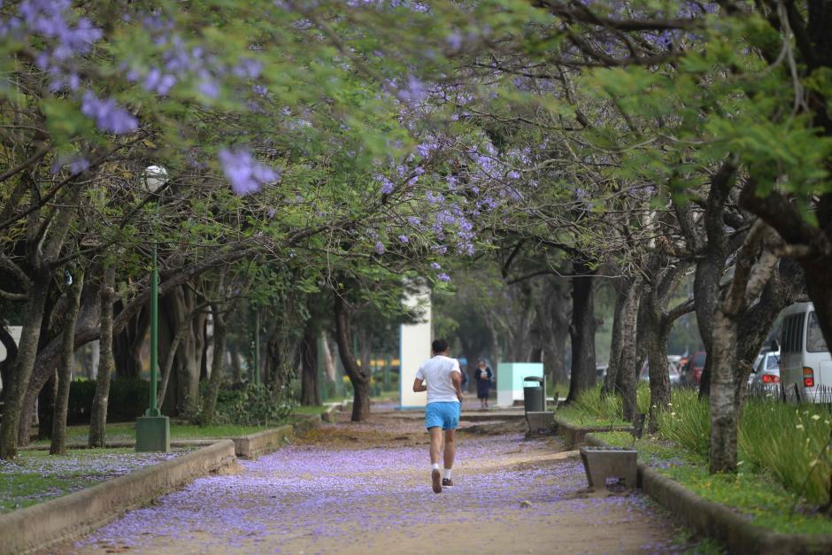 Las Jacarandas son árboles que están presentes en plazas y parques de las ciudades. Florecen en verano y en algunas partes de Latinoamérica hasta dos veces. En esta galería podrás verr cómo sus colores están presentes en Guatemala. (Foto: Jesús Alfonso/Soy502)