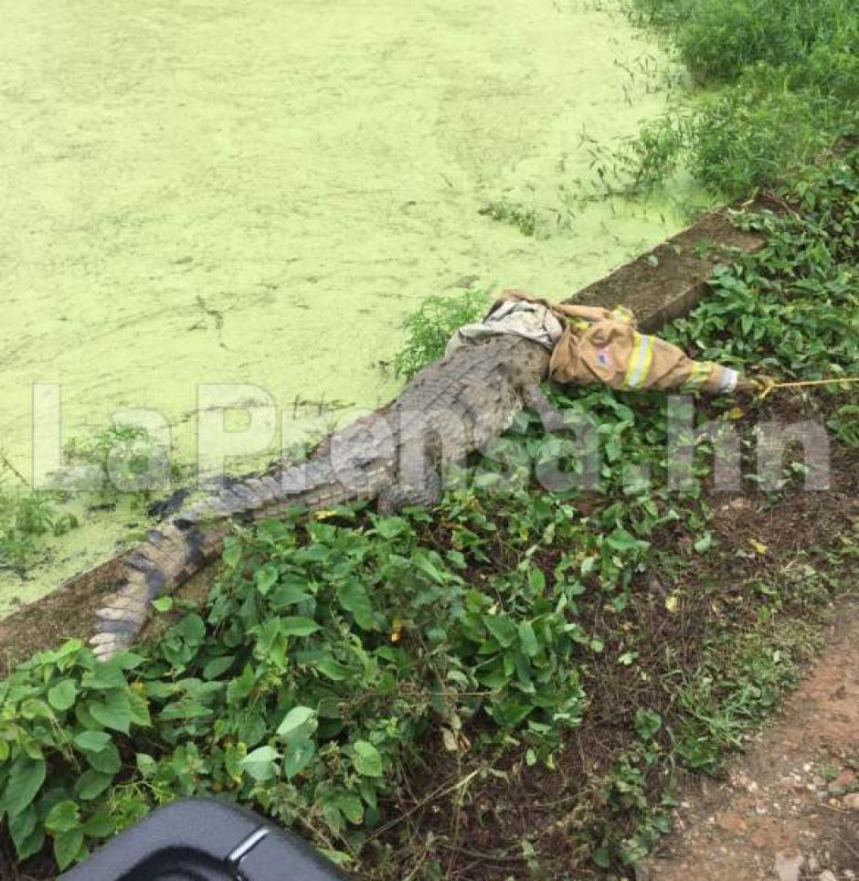 El cocodrilo tenía dos heridas en la cola y en una de sus patas. (Foto: La Prensa)