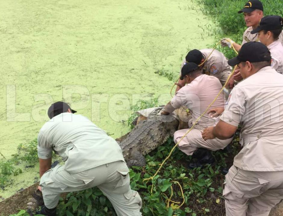 Los rescatistas utilizaron varias técnicas para atrapar al cocodrilo y tratarle las heridas. (Foto: La Prensa)