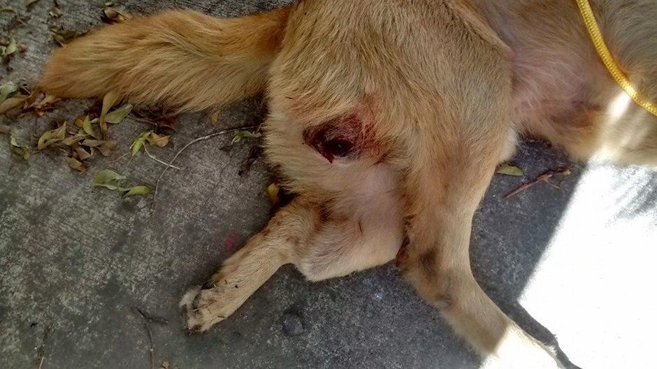 Eggnog tuvo dos fracturas, una de cadera y otra expuesta. (Foto: AMA)