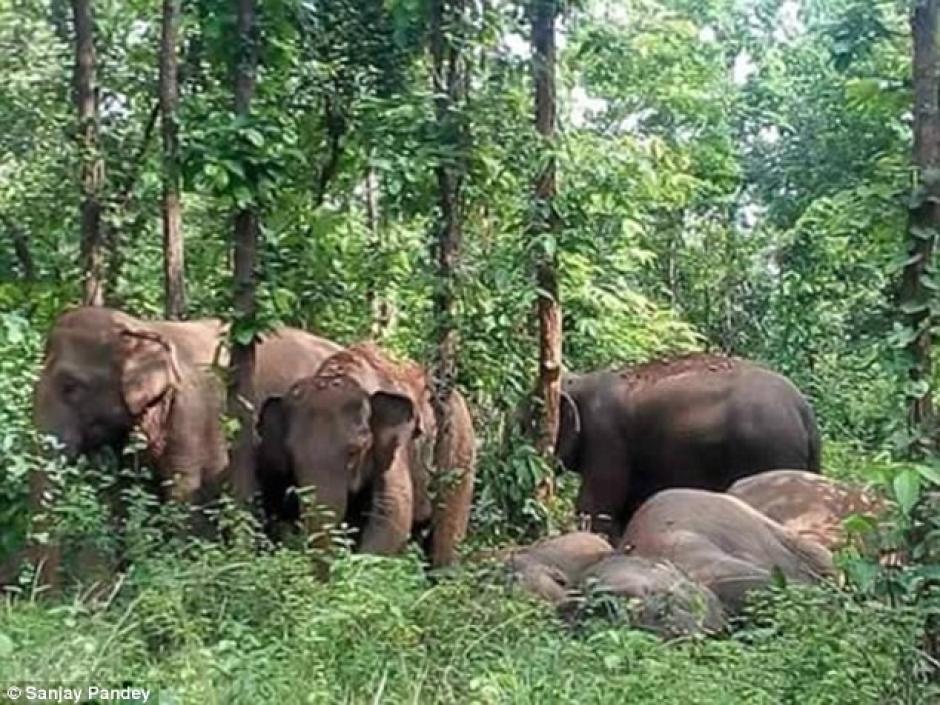 La manada de elefantes esperó a que el bebé fuera rescatado para seguir su camino. (Foto: Daily Mail)