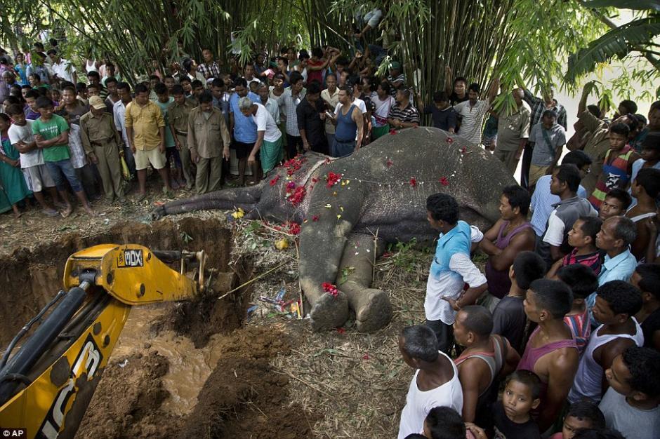 Según un informe el elefante asiático se desvió a comer un poco de arroz cuando inadvertidamente tocó una valla de alta tensión. (Foto: AP)
