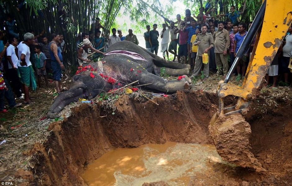 Se usó una retroexcavadora para cavar el sitio donde enterrarían al mamífero. (Foto: EPA)
