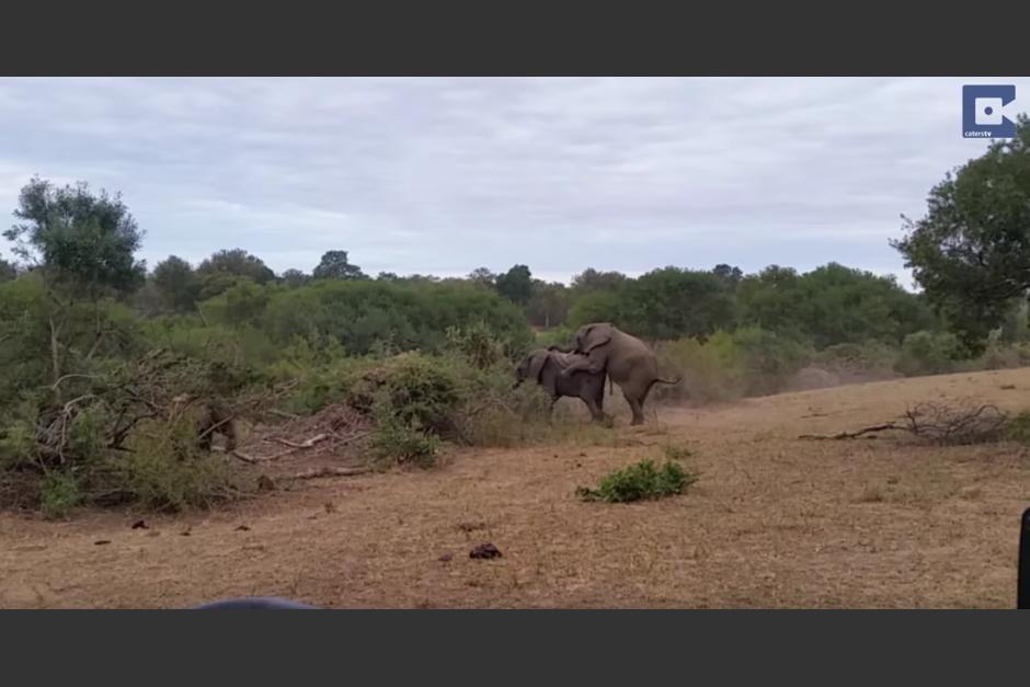 Dos elefantes tratan de aparearse. (Captura de pantalla: Caters Clips/YouTube)