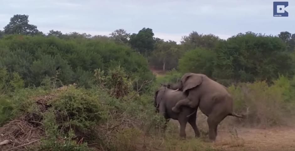 El elefante macho intenta apararearse y tien un accidente. (Captura de pantalla: Caters Clips/YouTube)