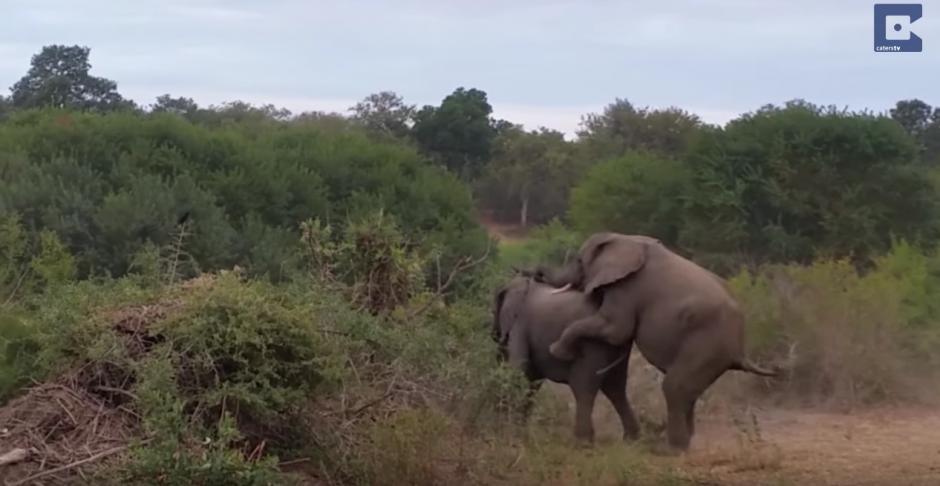 Cuando el animal tenia sus dos patas delanteras sobre su pareja, sucede algo inesperado. (Captura de pantalla: Caters Clips/YouTube)