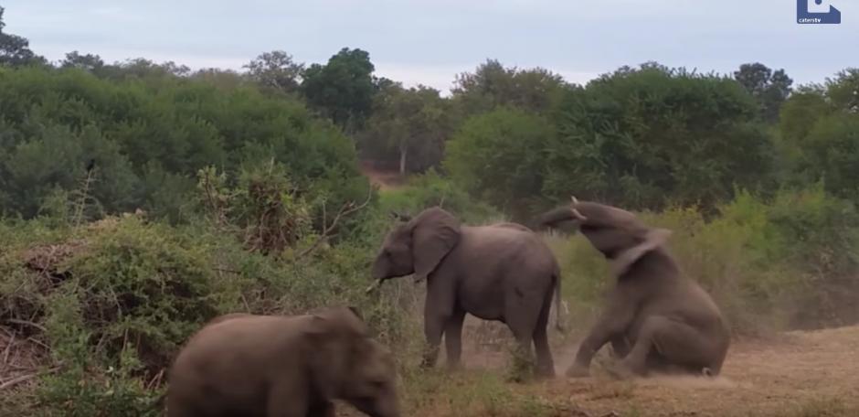 El elefante no logra sostenerse y cae al suelo. (Captura de pantalla: Caters Clips/YouTube)