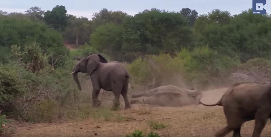 En cuestión de segundos el animal cae al suelo. (Captura de pantalla: Caters Clips/YouTube)