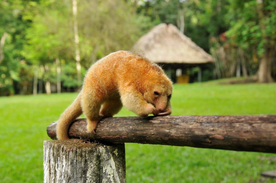 Esta especie se conoce principalmente como serafín de platanar. (Foto: Rony Fidel Bac/Nuestro Diario)