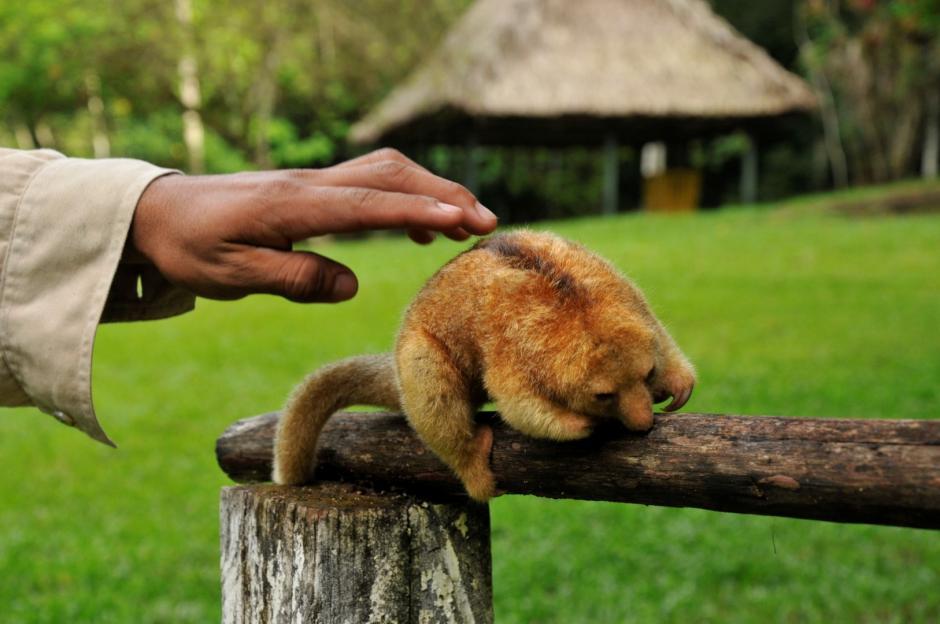 El pequeño animal no es muy común en la zona y es una de las pocas veces en ser observado. (Foto: Rony Fidel Bac/Nuestro Diario)