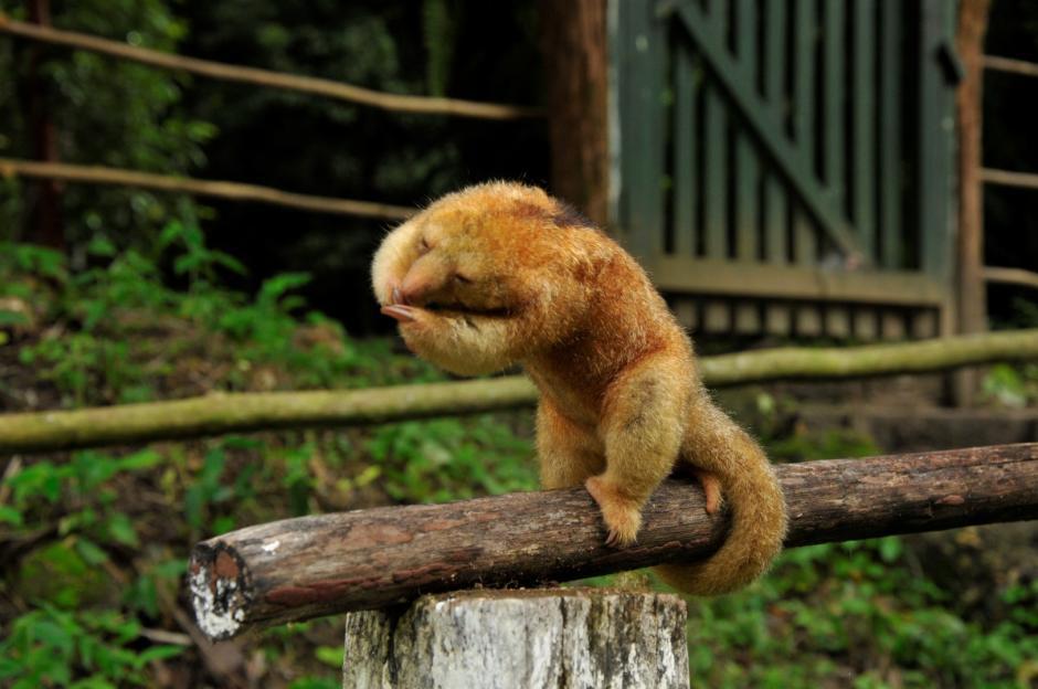 El pequeño oso hormiguero tiene un pelaje complejo y único en el mundo. (Foto: Rony Fidel Bac/Nuestro Diario)