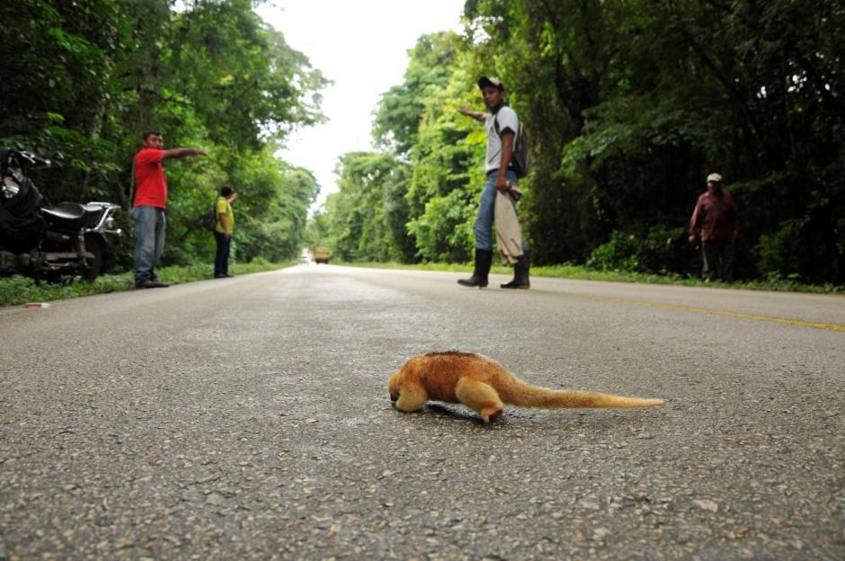 La especie de oso hormiguero fue localizada en una carretera. (Foto: Rony Fidel Bac/Nuestro Diario)