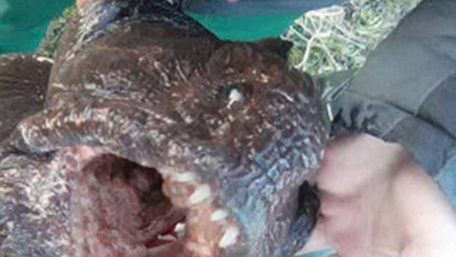 La enorme mandíbula y los enormes dientes hacen ver monstruoso a este pez. (Foto: 24 horas)