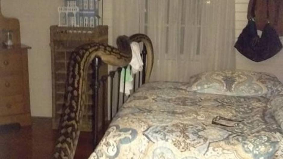 La pitón de 16 pies llega hasta la cabecera de la cama de una mujer en Australia. (Foto: Facebook)