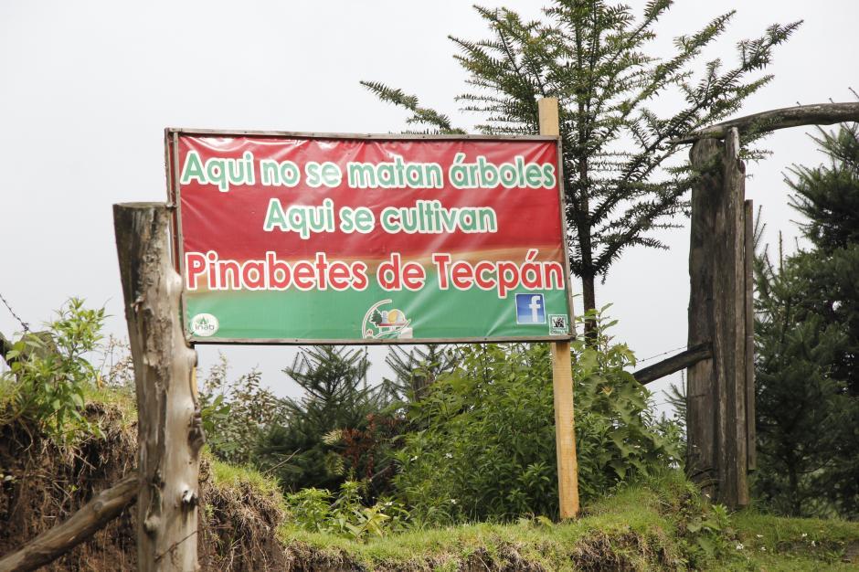 Tecpán es una de las mayores áreas de producción de pinabete, que se vende en época de Navidad.(Foto: Jorge Raúl Sente/Soy502)