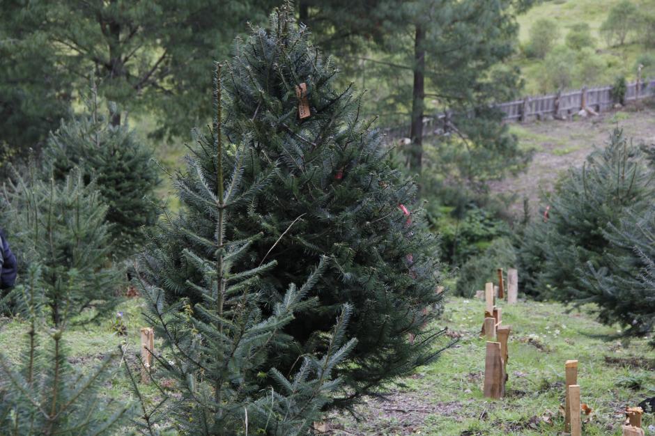 El pinabete es una especie de árbol único en el planeta por su particular aroma. (Foto: Jorge Raúl Sente/Soy502)