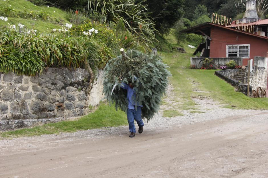 Este año se calcula que se vendan cerca de 15 mil árboles, superando las ventas del pasado año.(Foto: Jorge Raúl Sente/Soy502)