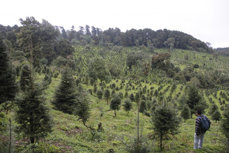Conap tiene registrado un total de 26 mil hectáreas de pinabete en el país.(Foto: Jorge Raúl Sente/Soy502)