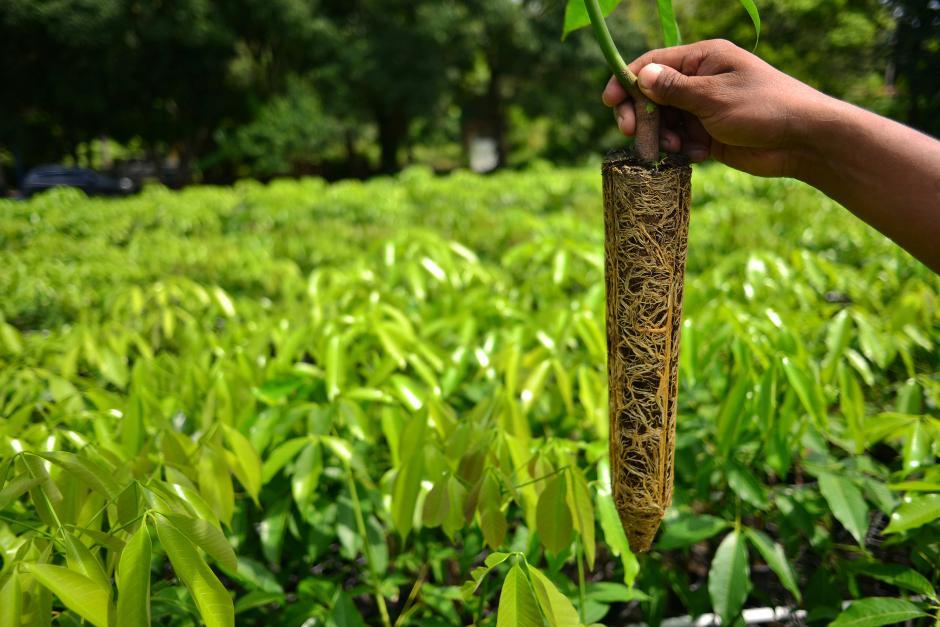 En finca Popoyán los pegones son la última tecnología fuera de las bolsas de plástico o los tubos. El sistema radicular de estos plantas está más fortalecido para que produzca látex a los 5 años en vez de a los 7.(Foto: Jesús Alfonso/Soy502)