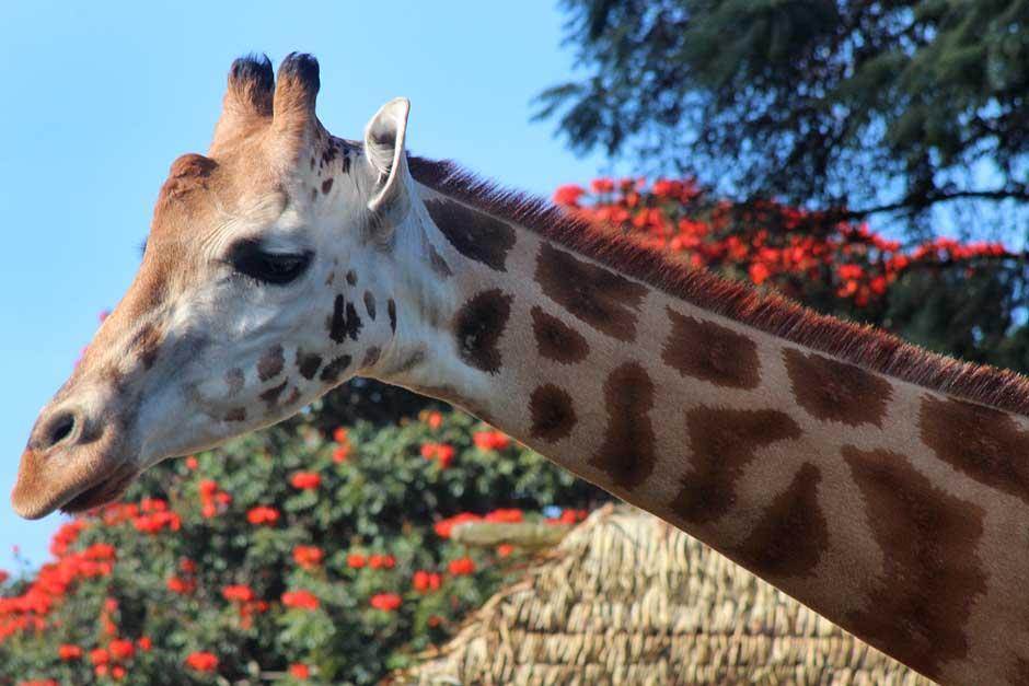 """Una jirafa del Zoológico La Aurora se robó el show entre los competidores que llegaron a este parque para participar en la quinta edición de la carrera """"Corre por el Zoo"""". (José Dávila/Soy502)"""