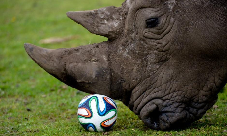 Un rinoceronte juega con un balón del Mundial de fútbol Río 2014 en su recinto en el parque Serengeti en Hodenhagen, Alemania. (Foto: AFP)