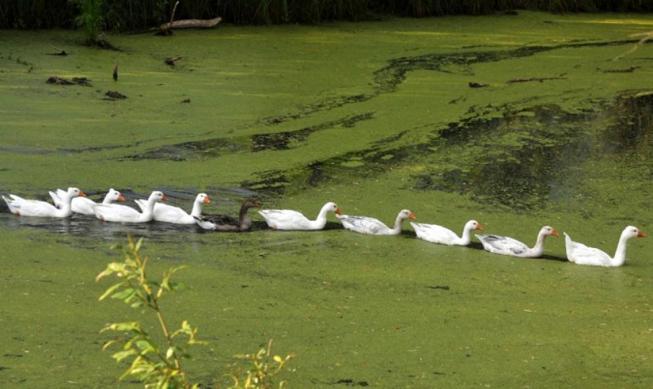Gansos nadan en un estanque cerca de la aldea de Bielorrusia Peski, a unos 100 km al norte de Minsk. (Foto: AFP /VIKTOR DRACHEV)