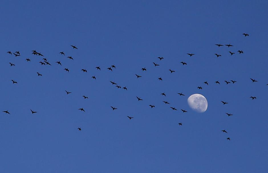 Una bandada de cormoranes vuela cerca de la figura de la Luna, durante la puesta de sol en Ciudad del Cabo, Sudáfrica. Hoy se celebra el Día Internacional de Madre Tierra, que se centrará en las ciudades verdes, con el objetivo de movilizar a millones de personas para lograr un medio ambiente saludable y sostenible. (Foto: EFE/Nic Bothma)