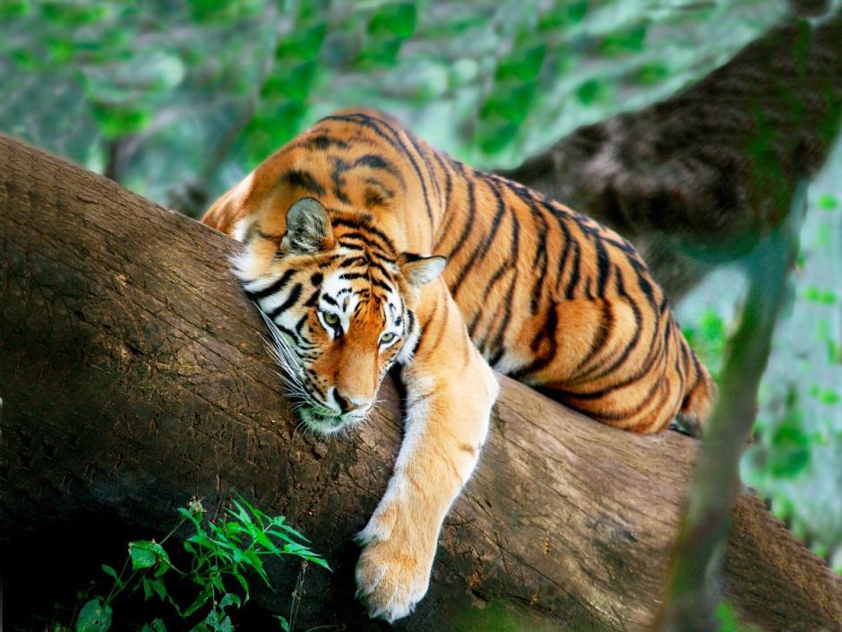 El objetivo es que en 2022 se duplique el número de tigres en el planeta. (Foto: Infotigres)