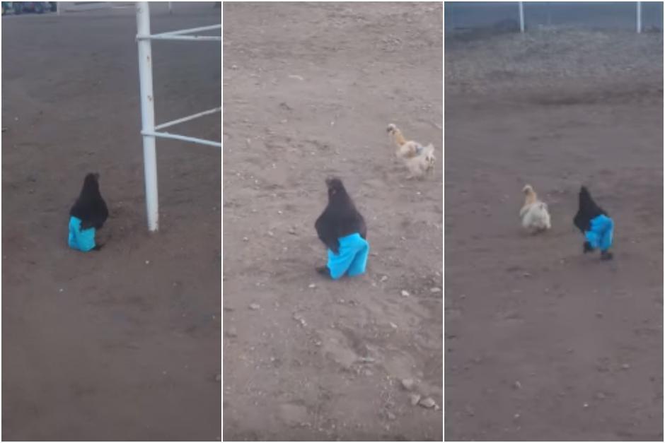 El gallo tiene unos pantalones y camina por el gallinero. (Captura Youtube)