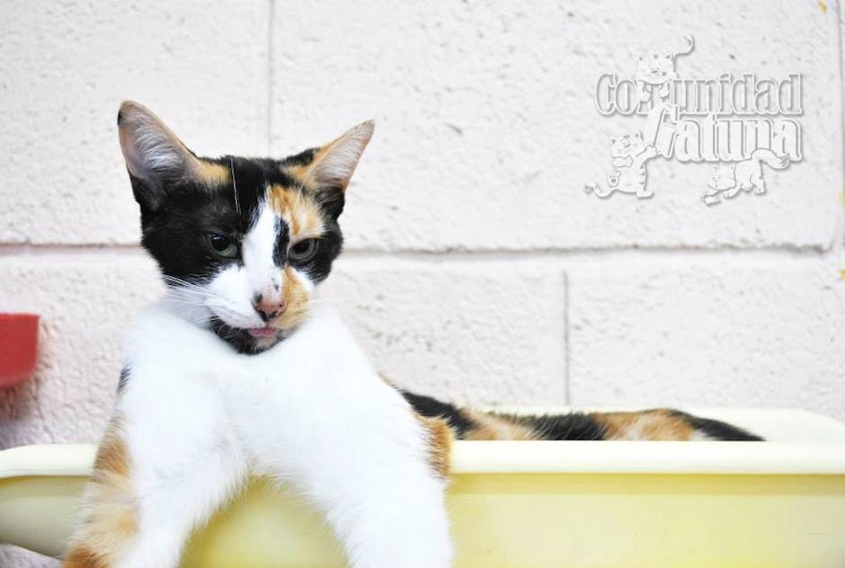 """Los gatos """"calicó"""" siempre son hembras, y se caracterizan por su pelaje blanco con manchas café, naranja y negro. Uno de cada 3 mil tricolor será macho y regularmente es infértil. (Foto: facebook/Comunidad Gatuna)"""