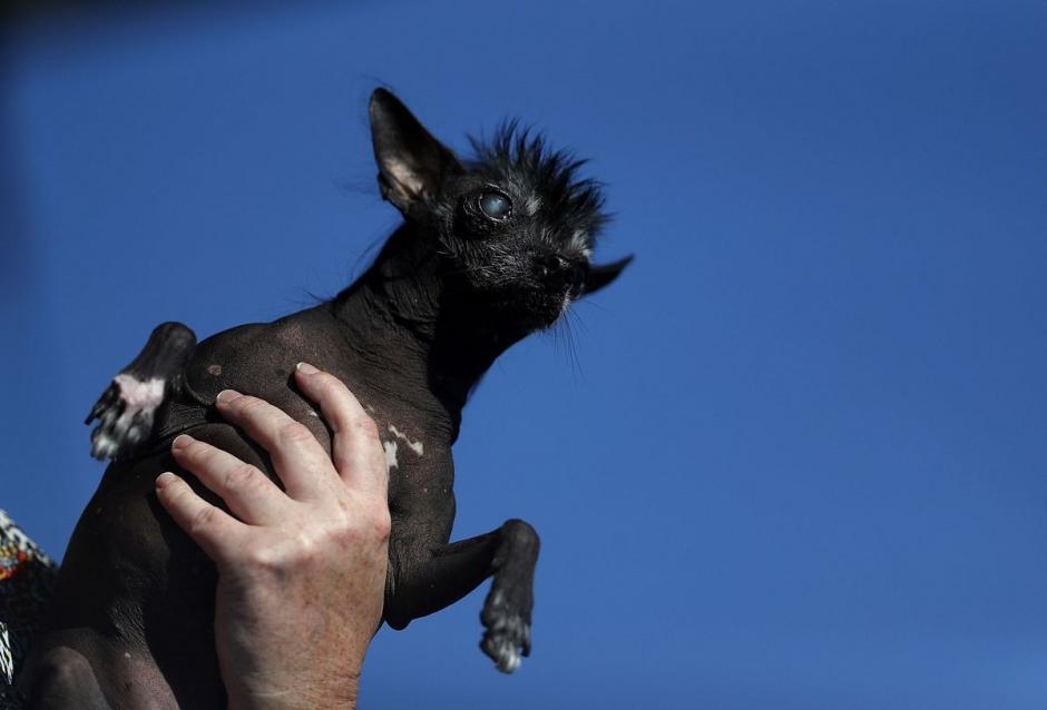 Rue fue el ganador del tercer lugar y es un chihuahua chino con cresta. (Foto: Getty Images)