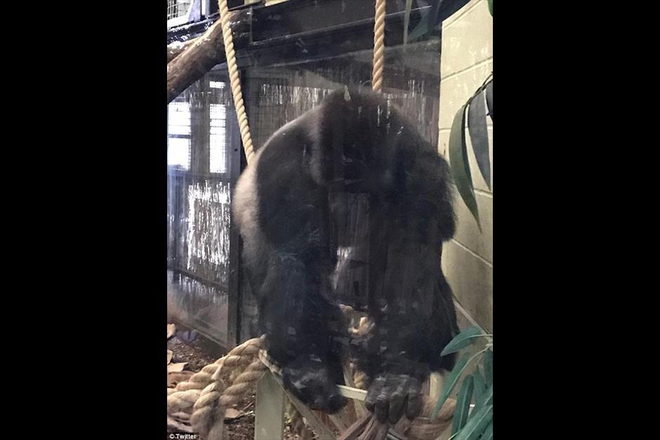 Kumbuka pesa unos 180 kilos y mide dos metros. (Foto: Twitter)