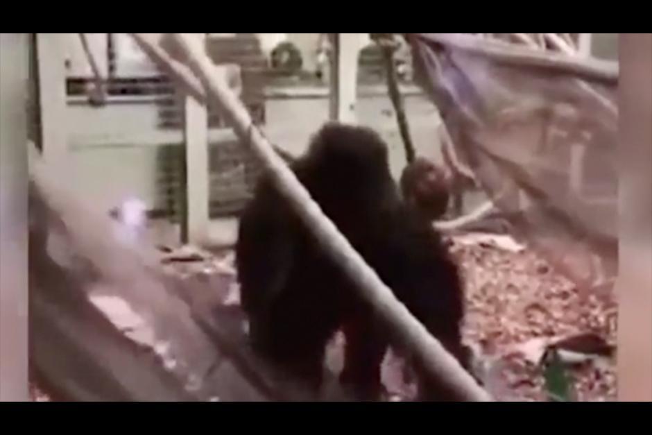 El animal atacó con violencia el vidrio perimetral en su recinto. (Foto: Twitter)