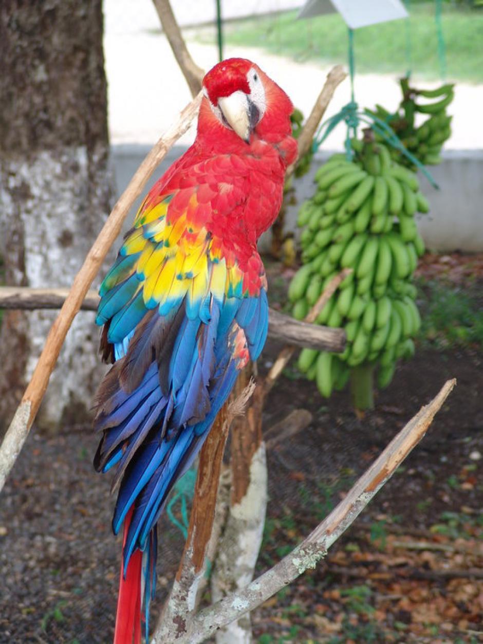 Esta guacamaya es otro de los animales de la colección de fauna de Walter Obdulio Mendoza. (Foto: Facebook)