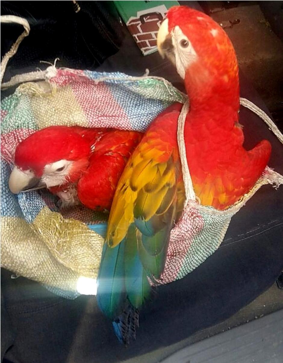 Estas fueron las Guacamayas rescatadas. (Foto: CONAP)