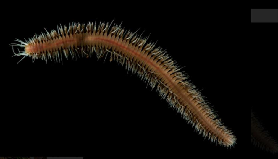 Este nuevo gusano fue encontrado en el fondo del océano. (Foto: Infobae)