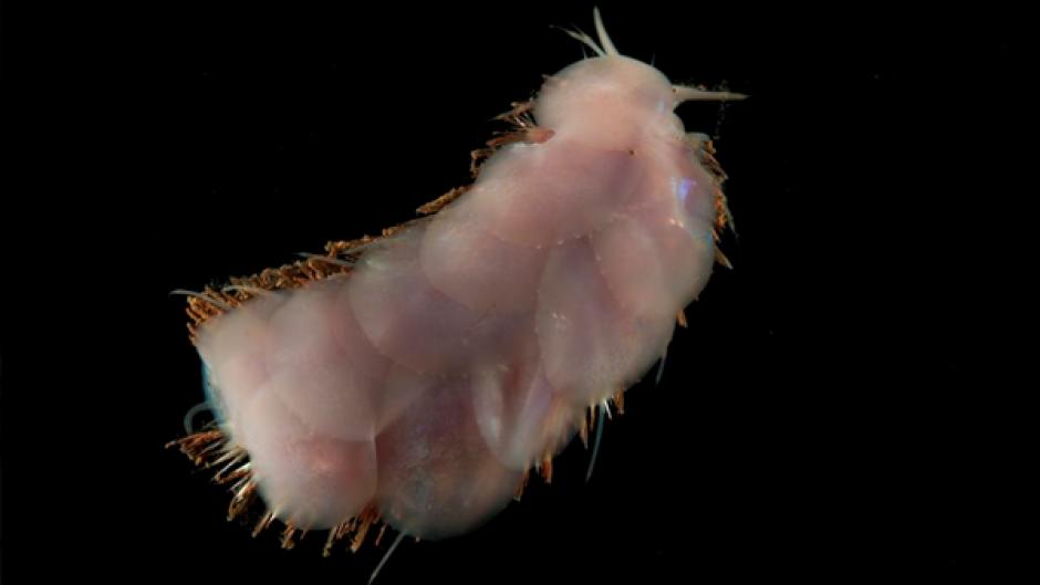 Este gusano también fue encontrado. (Foto: Infobae)