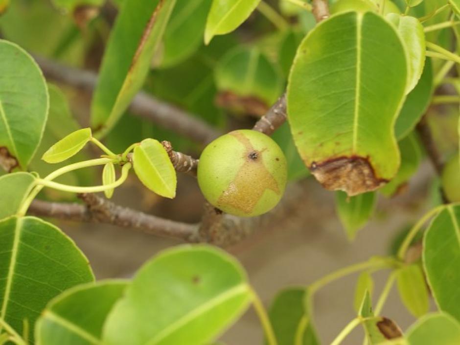 Estos frutos son muy dulces y jugosos pero provocan llagas e hinchazón por toda la garganta. (Foto: Hipertextual)