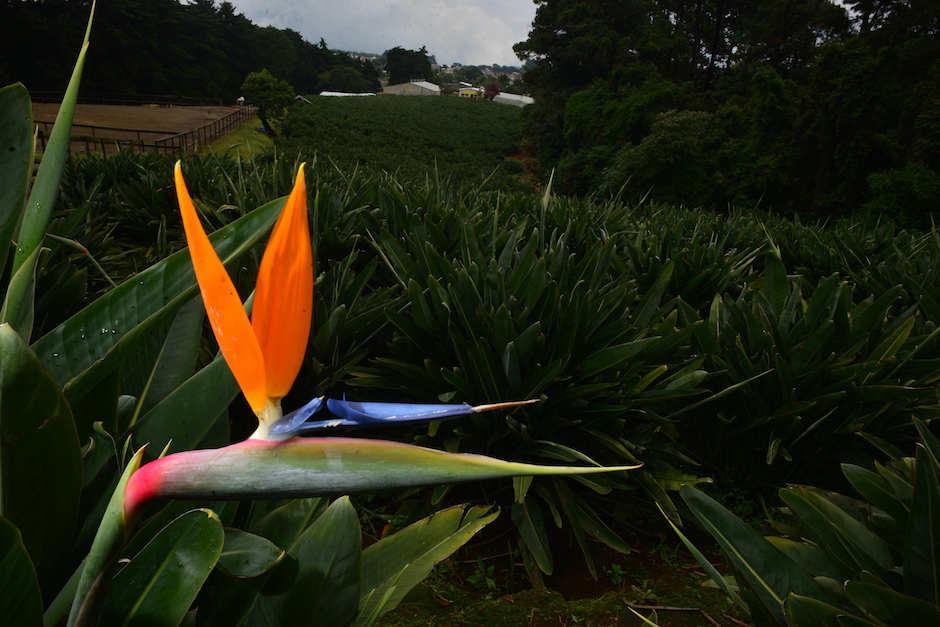 Las aves del paraíso guatemaltecas son muy populares en Estados Unidos y Canadá. (Foto: Jesús Alfonso/Soy502)