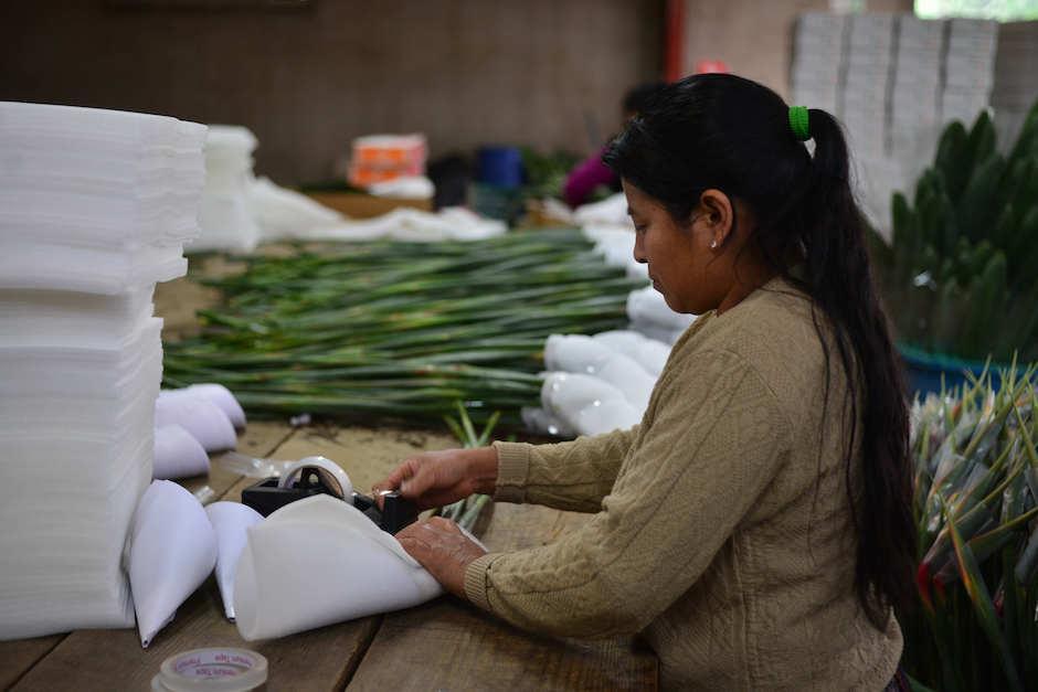 Flores Bohemia comercializa aves del paraíso para exportación. (Foto: Jesús Alfonso/Soy502)